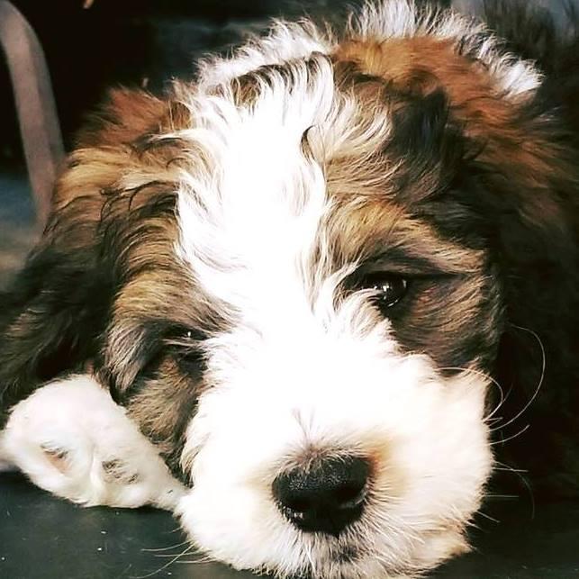 f1-medium-Bernedoodle-puppy.jpg