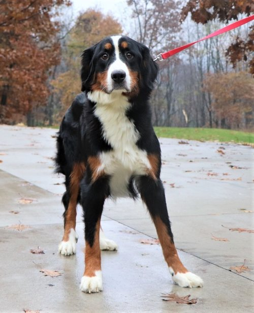 58-pound-Bernese-mom-Molly.jpg