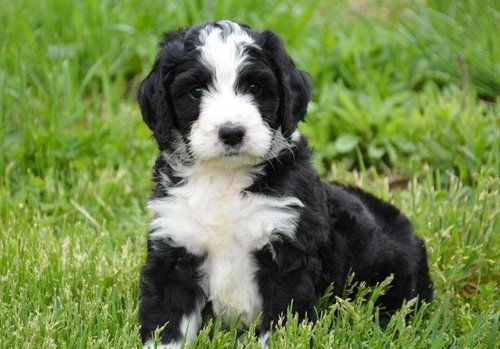 Zander+Adorable+Bernedoodle+Puppy+(3)-min.jpg