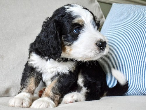 Available Best Bernedoodles