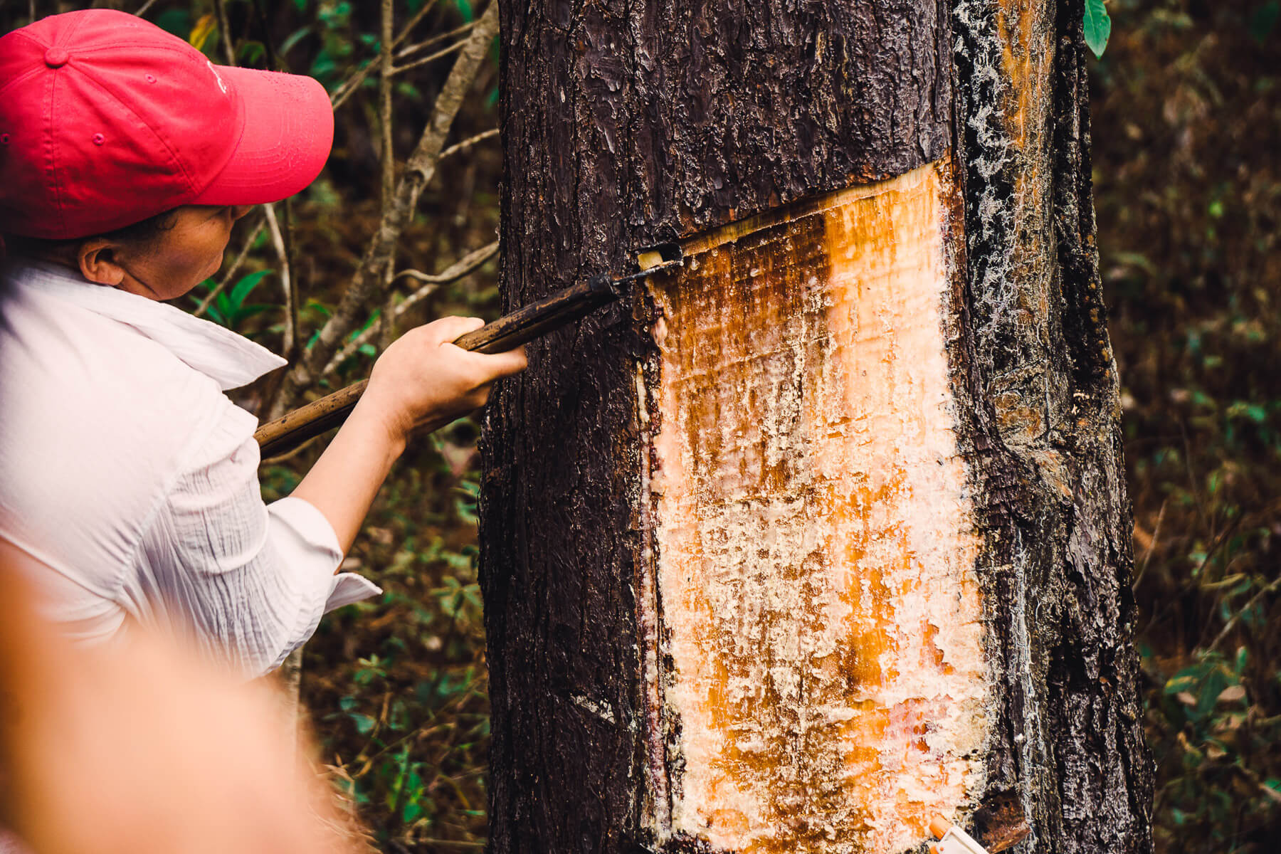 Honduras pine resin tapping