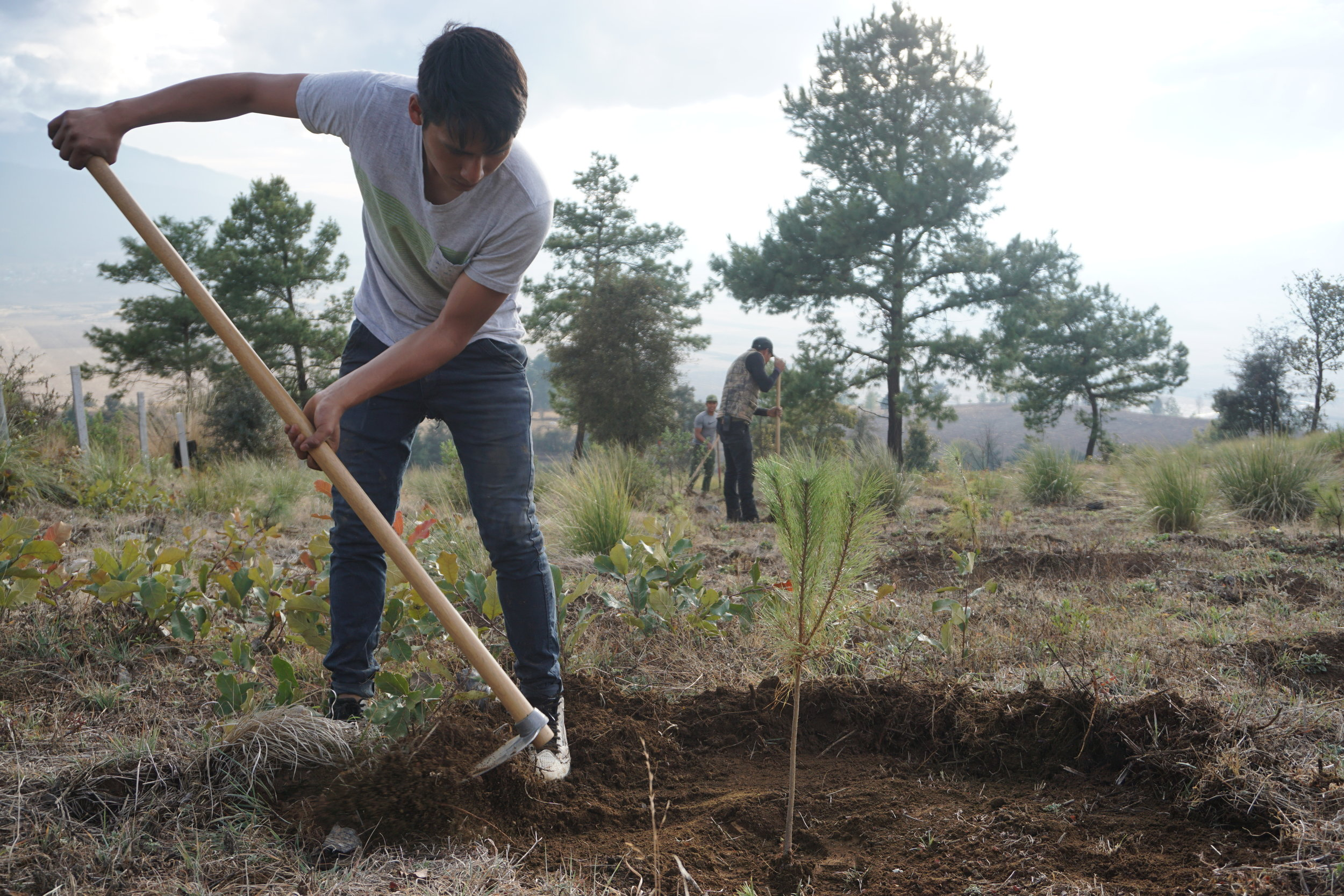 Planting in Cherán Atzicurín