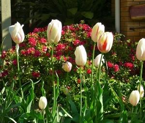 tulips .jpg