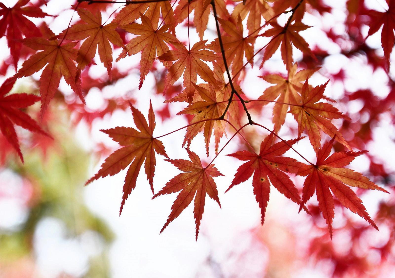 japan_maple_kyoto-407866.jpg!d.jpeg