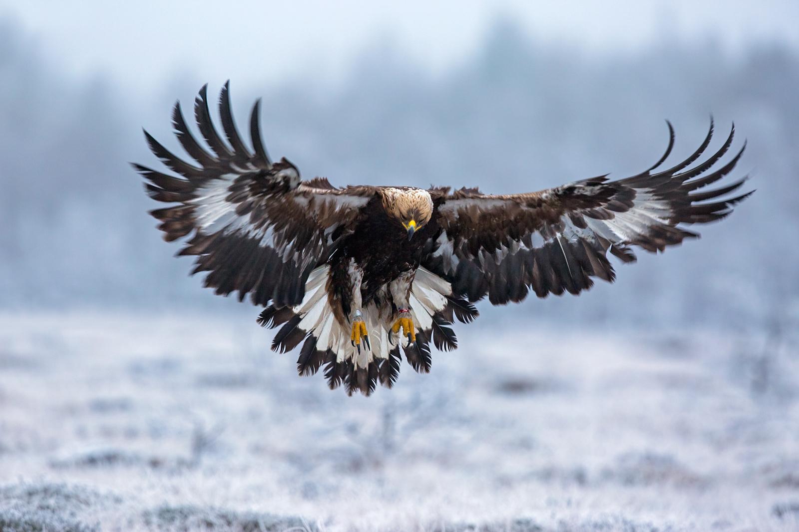 bird of prey -