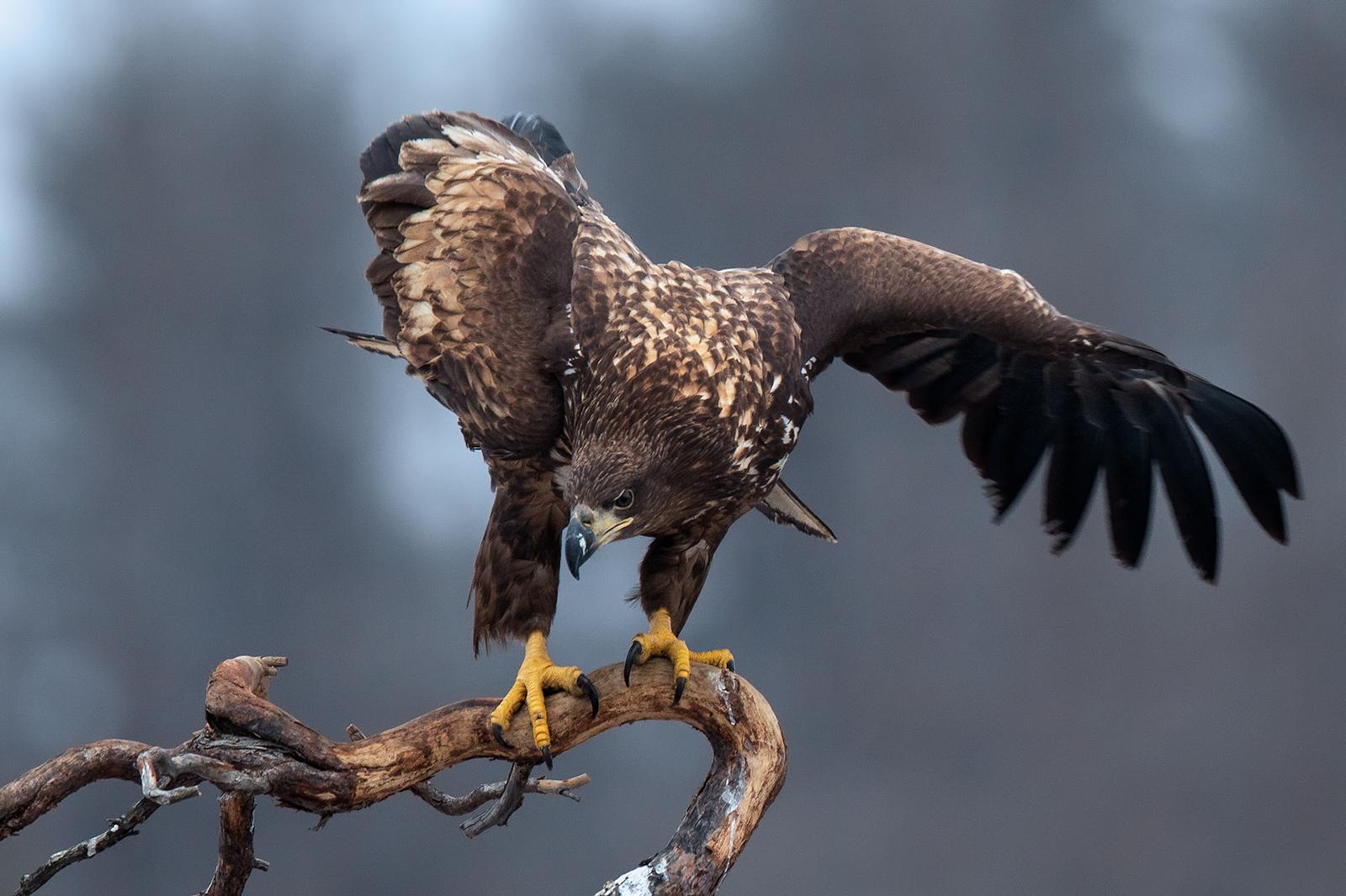 White tail sea eagle