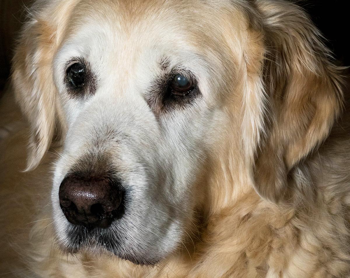 conarhu_golden_retrievers_perth_australia_ruth_connah_our_dogs_prim.jpg