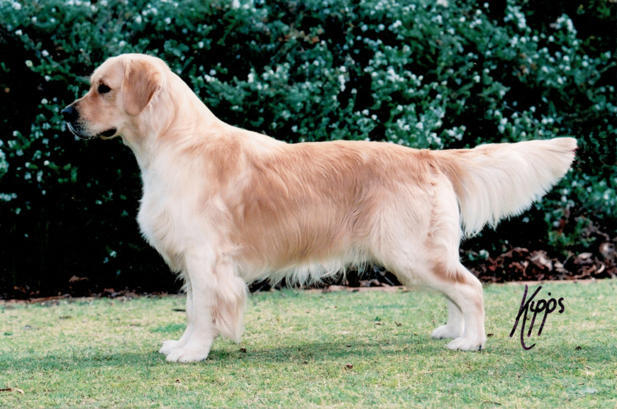 conarhu_golden_retrievers_perth_australia_ruth_connah_our_dogs_butler.jpg