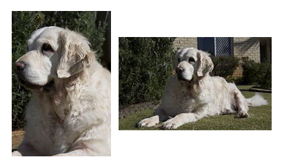 conarhu_golden_retrievers_perth_australia_ruth_connah_our_dogs_others_manta.jpg