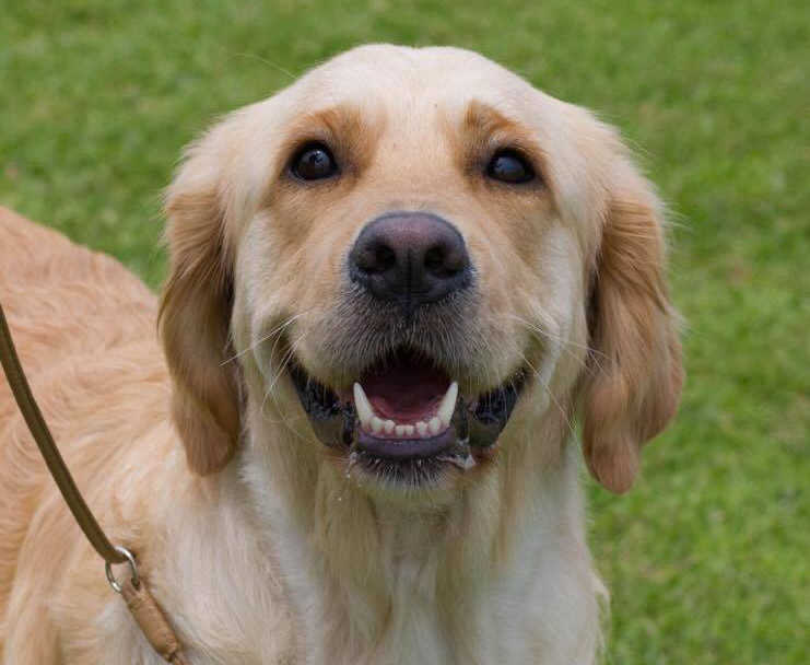 conarhu_golden_retrievers_perth_australia_ruth_connah_our_dogs_mia_gallery_3.jpg