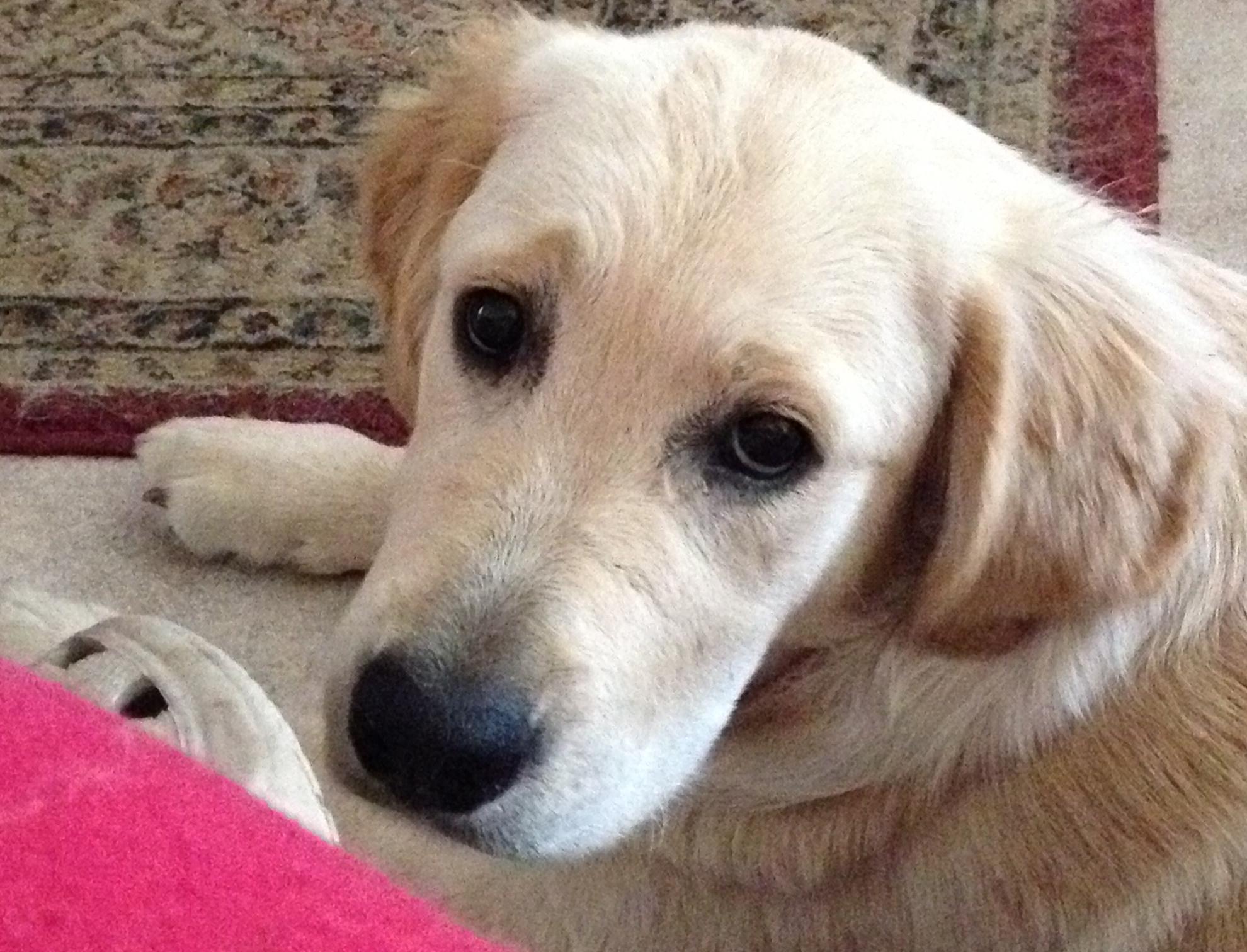 conarhu_golden_retrievers_perth_australia_ruth_connah_our_dogs_mia_gallery_5.jpg