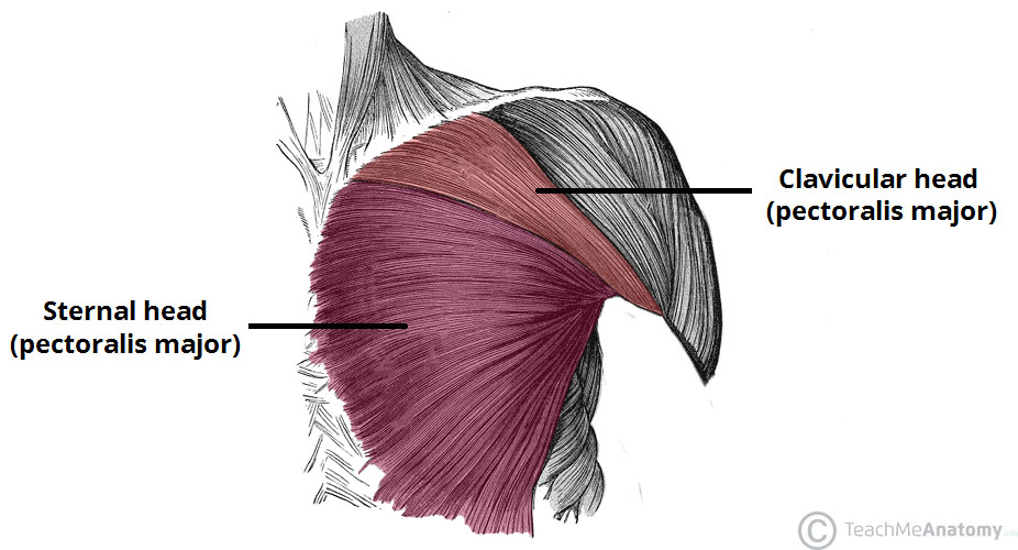Sternal-and-Clavicular-Heads-of-Pectoralis-Major..jpg