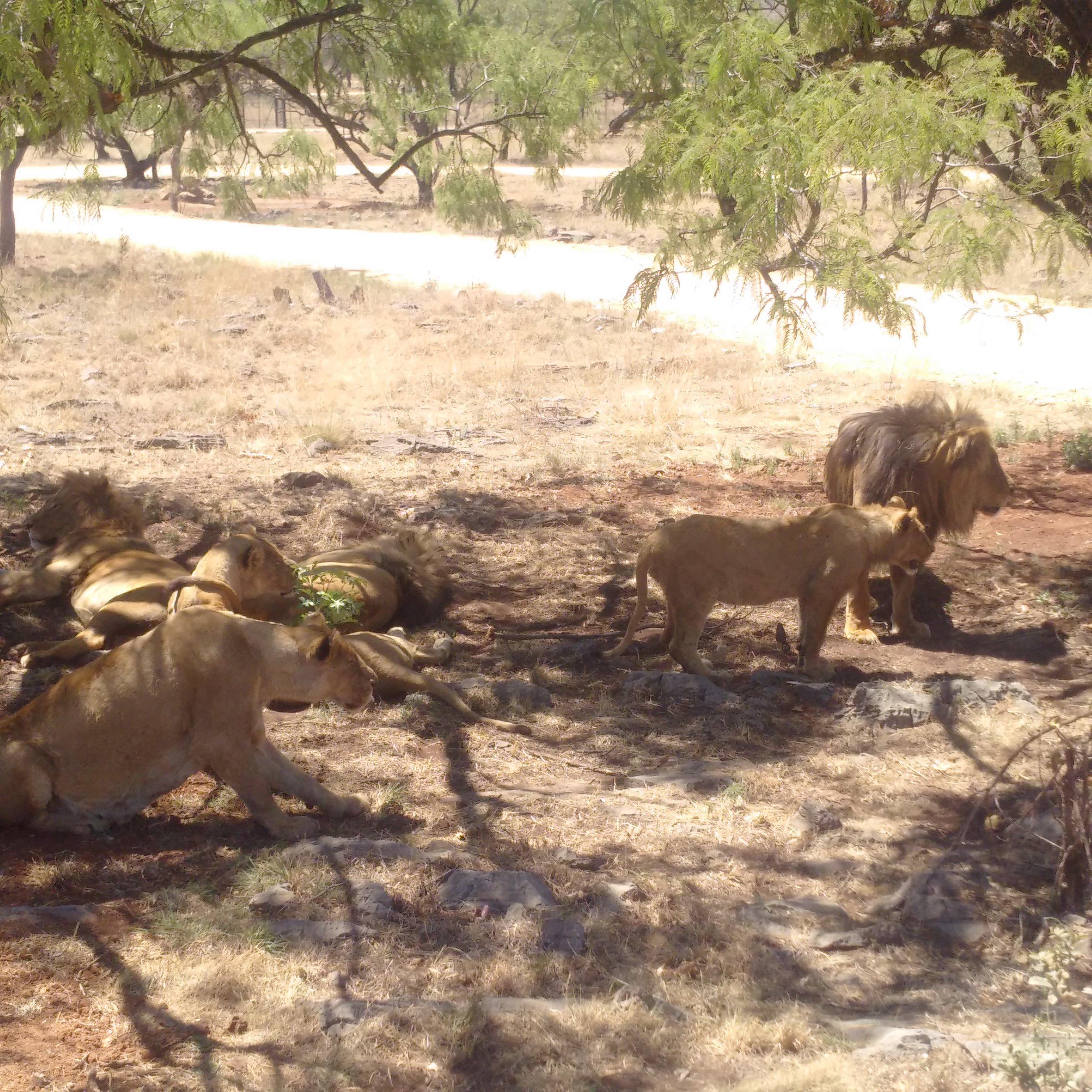 My first time seeing lions this close