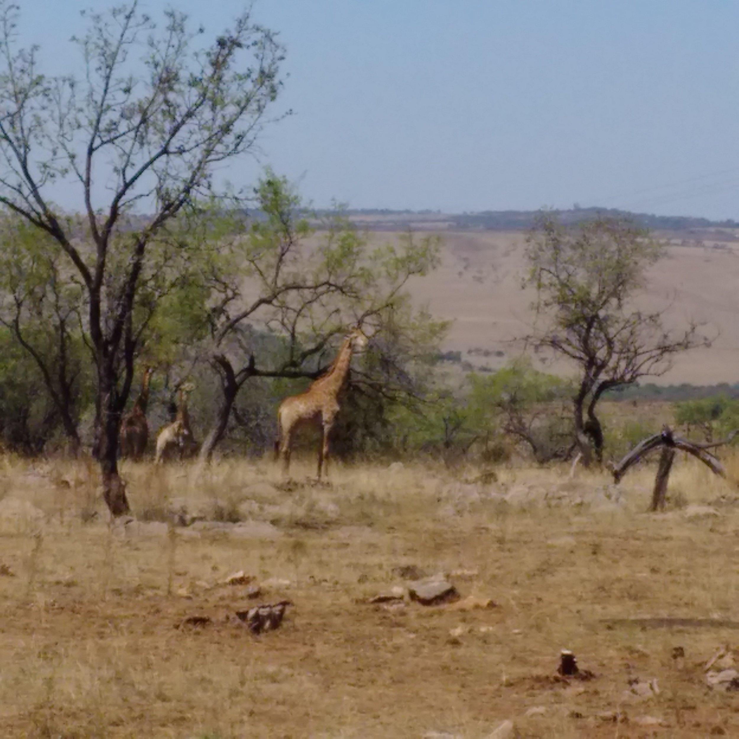 Lion and Safari Park   Giraffs