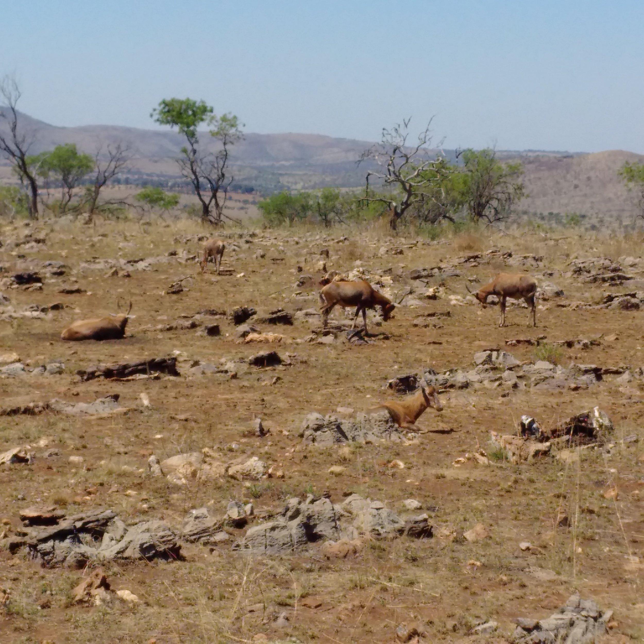 Lion and Safari Park   Springboks