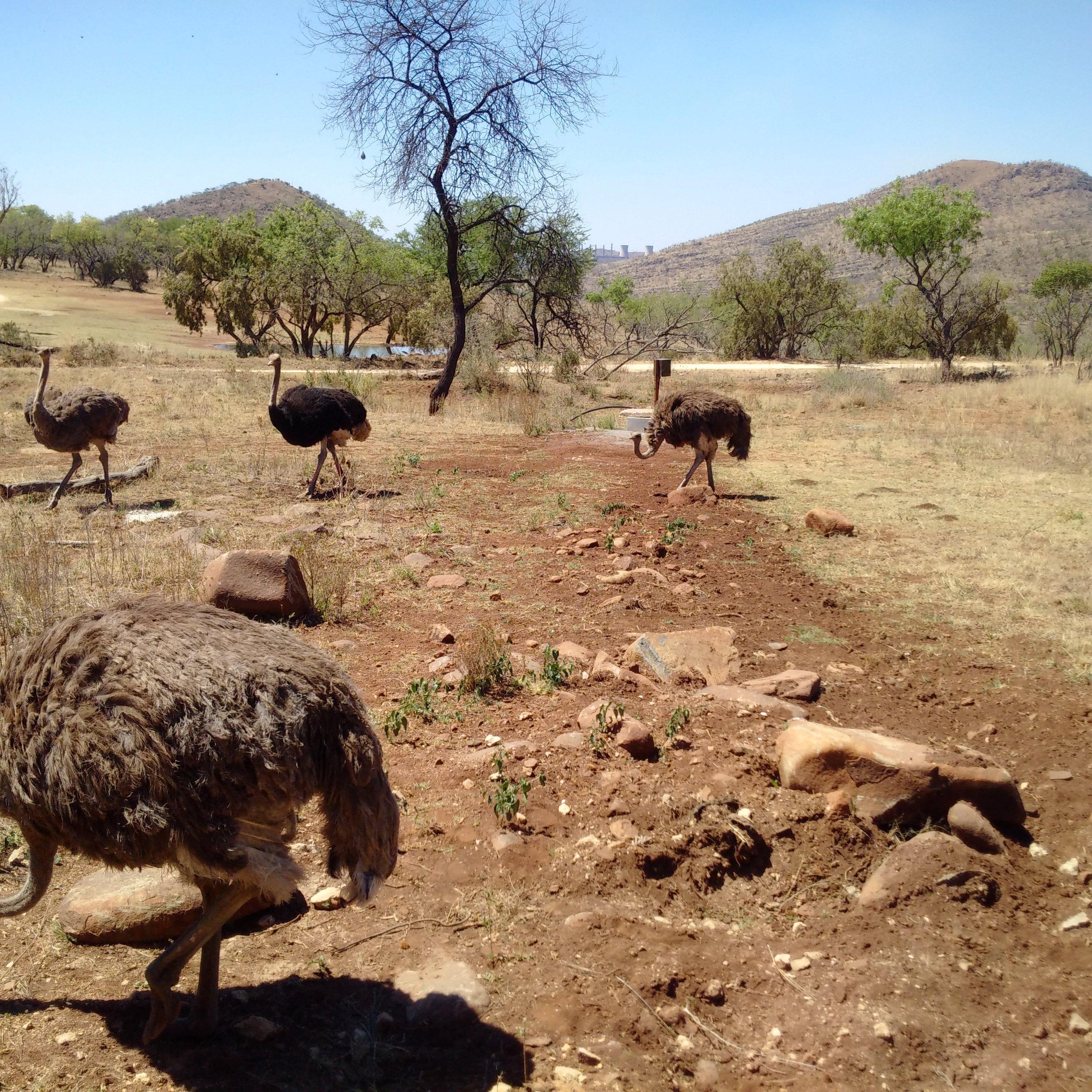 Lion and Safari Park   Ostriches