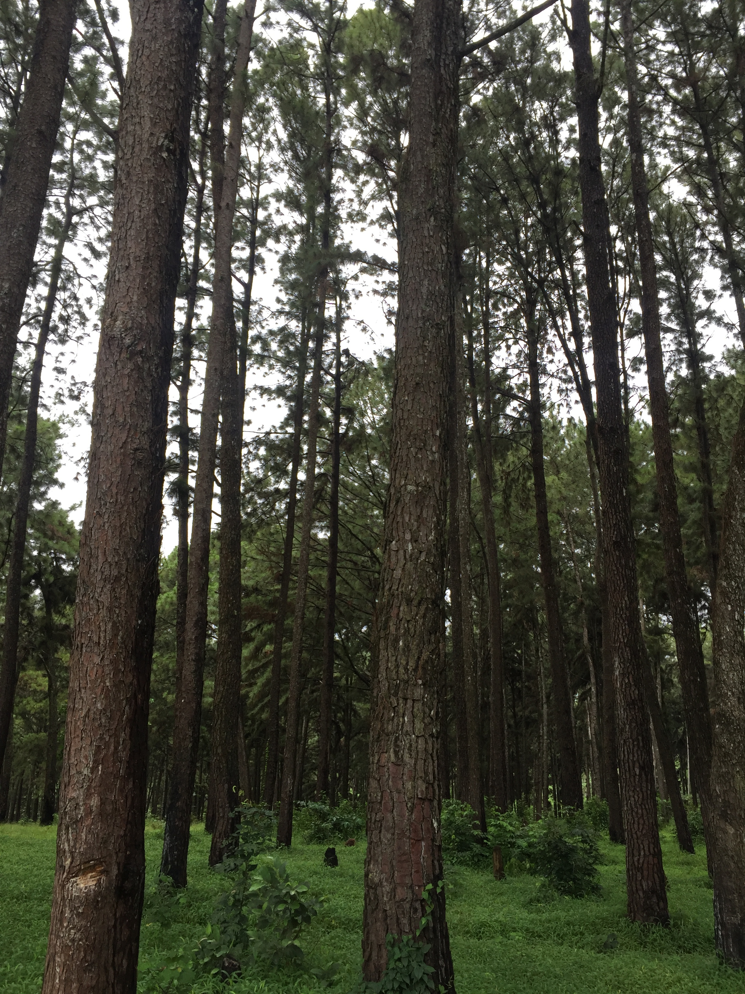 NGWO PINE FOREST | Ngwo Pine Forest consists of neat rows of trees. Perhaps the peace of the forest extends to the village as well; making it sleepy.
