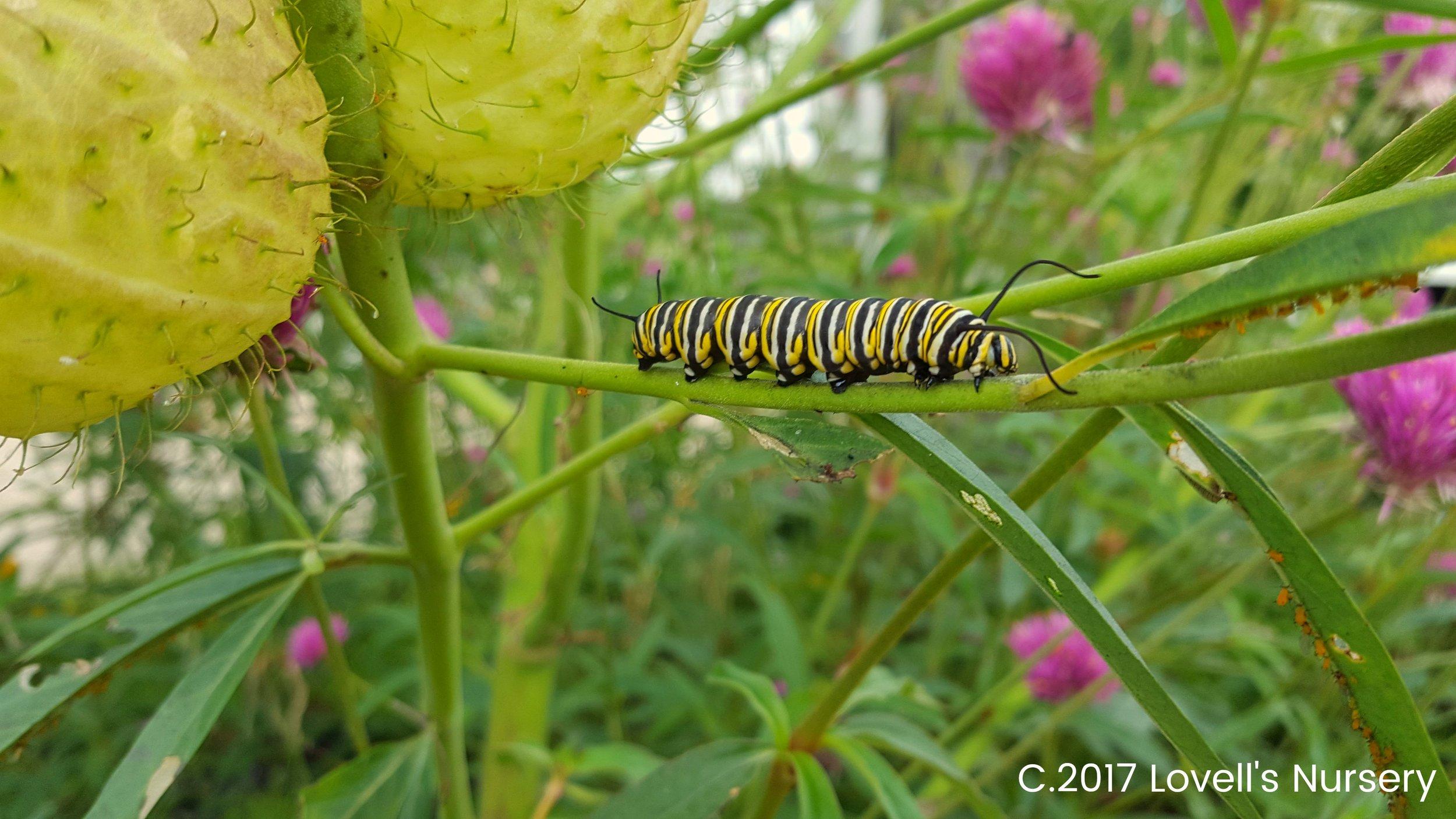 Monarch Caterpiller.jpg