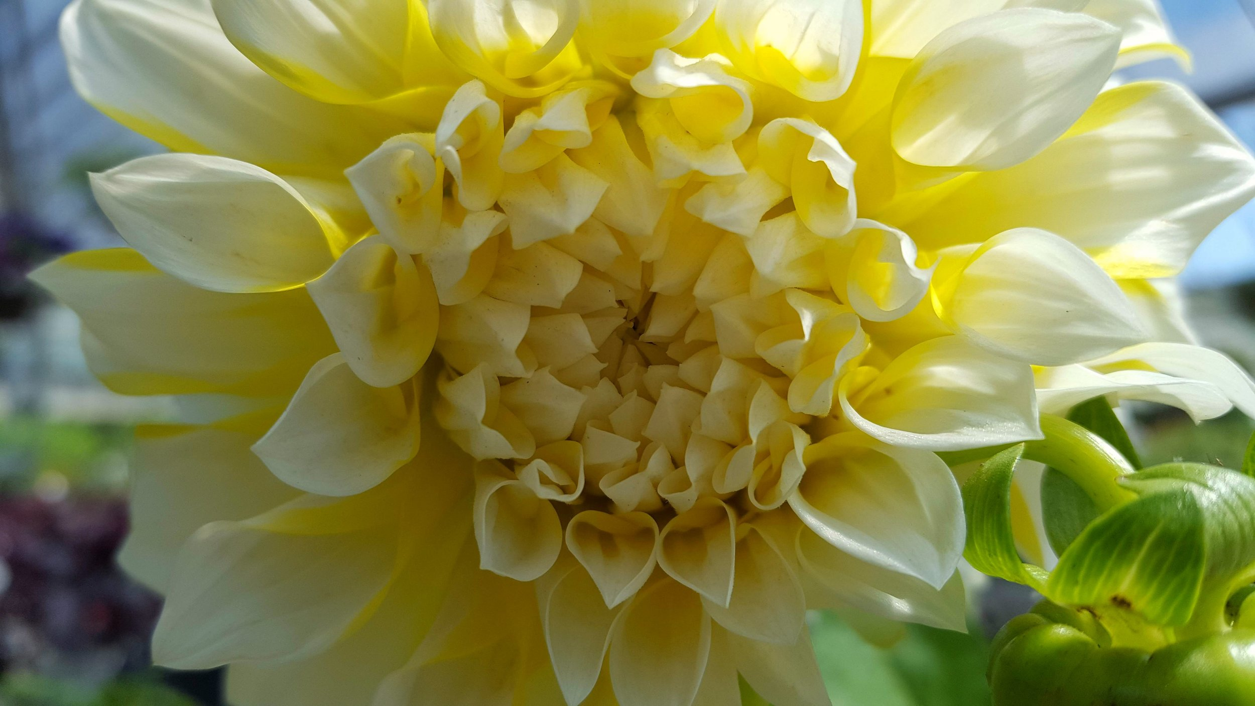 yellow-dahlia.jpg