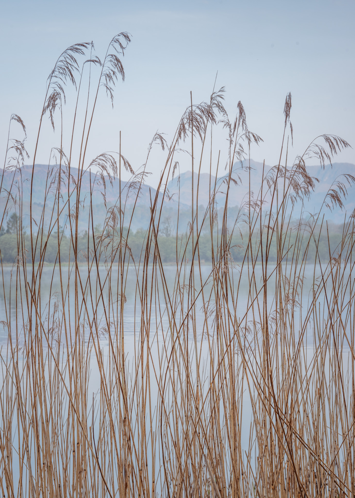 Reeds at Elterwater