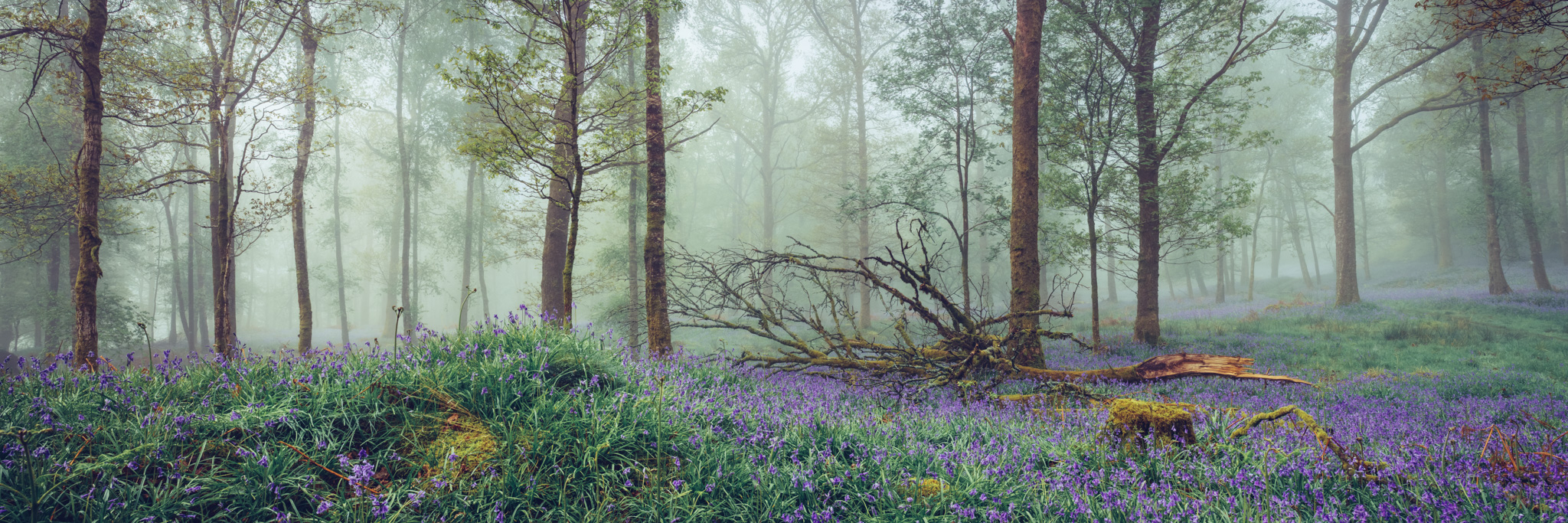 Brathay Bluebells - Jeffy Knotts Wood