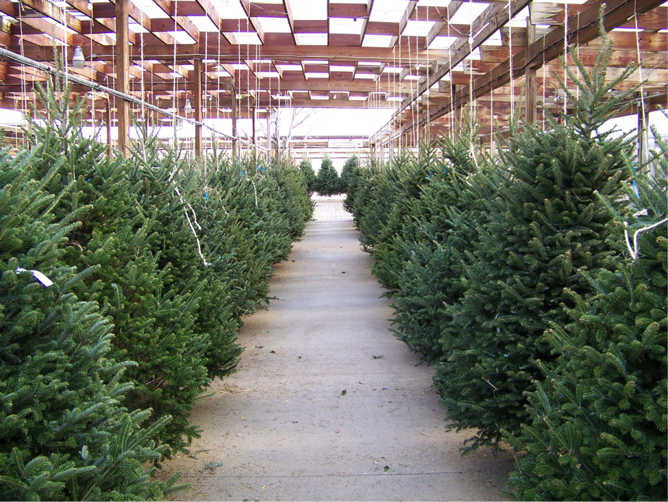 A Christmas tree lot ready for the holiday season. Photo courtesy of PublicDomainPictures.net.
