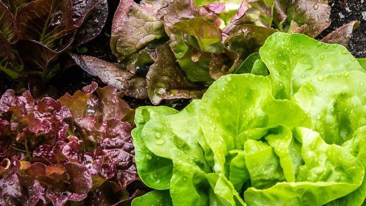 lettuces_px_copy.jpg
