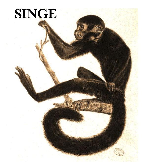 SINGE.jpg