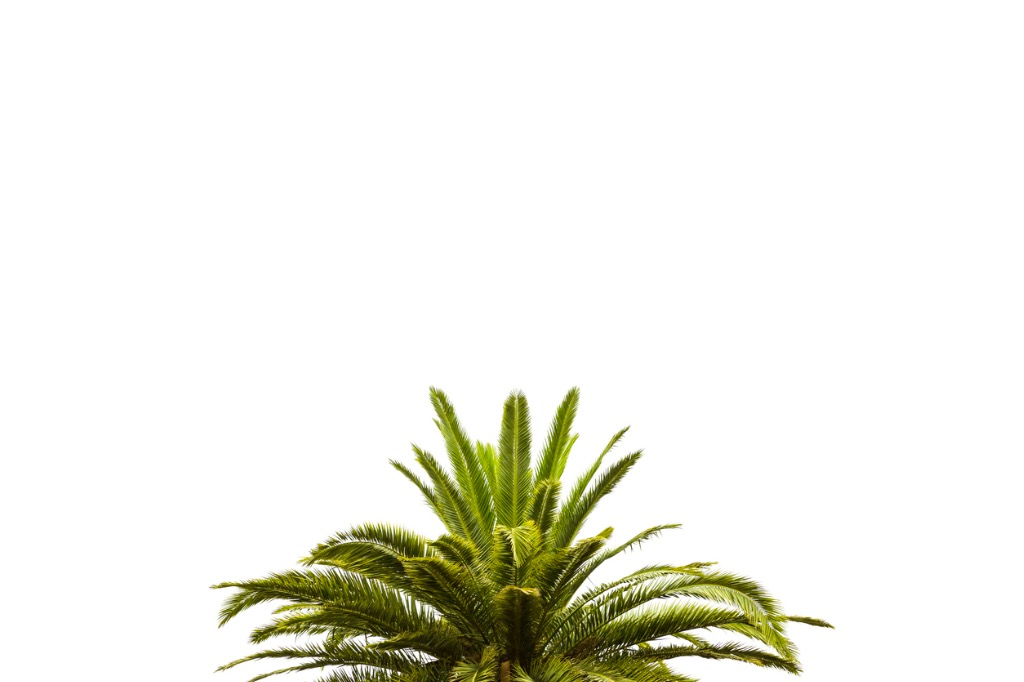 leaves-of-palm-tree-isolated-on-white-background-copy-space-picture-id626511296.jpg