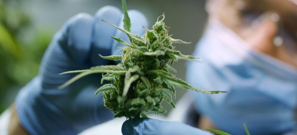 cannabis.research.jpg