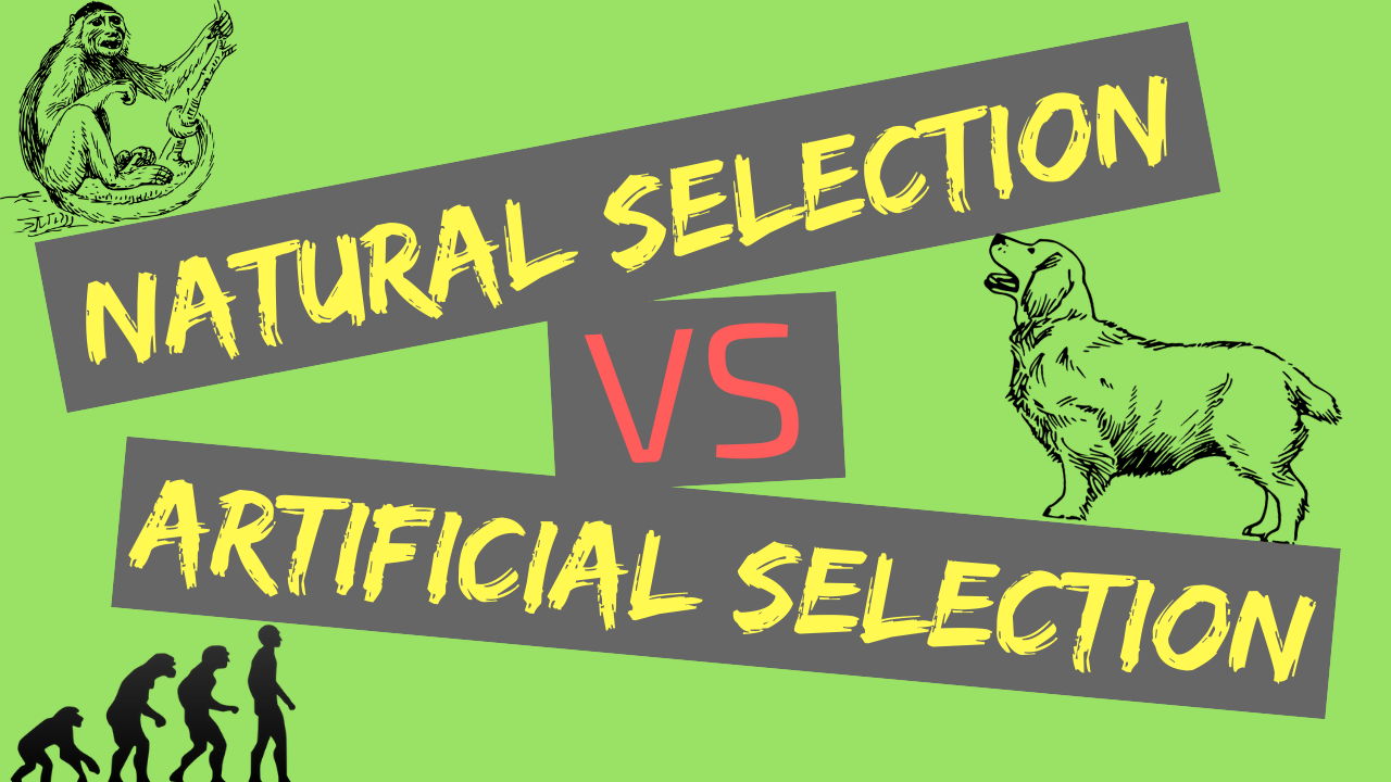 Natural Selection vs Artificial Selection