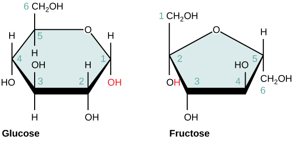 Common monosaccharides include glucose and fructose. Image adapted from  OpenStax Biology.