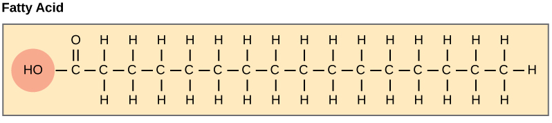 Fatty acids are the base structure for many lipids. Image adapted from  OpenStax Biology.
