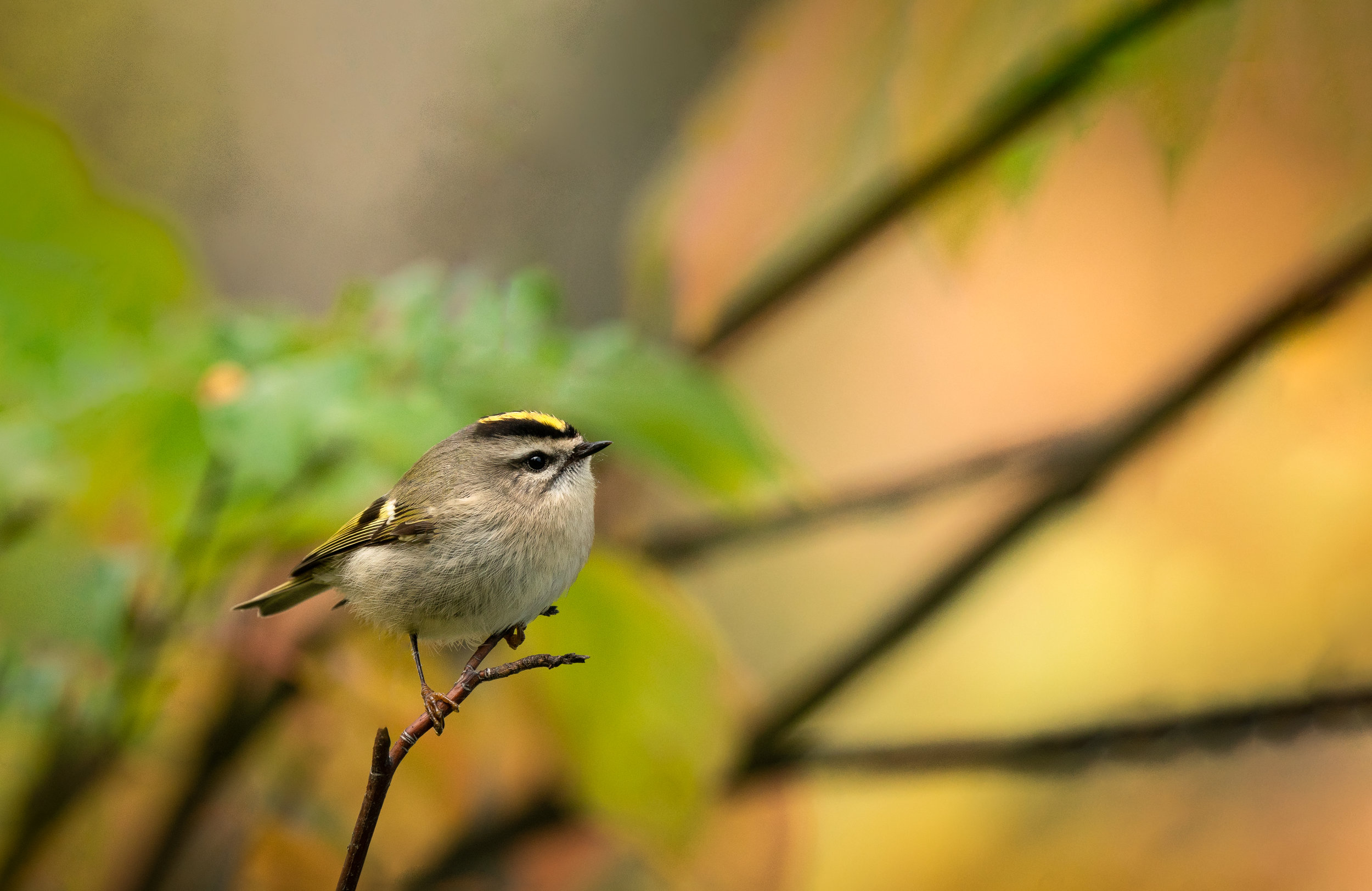 Kinglet with some beautiful fall colours peaking through