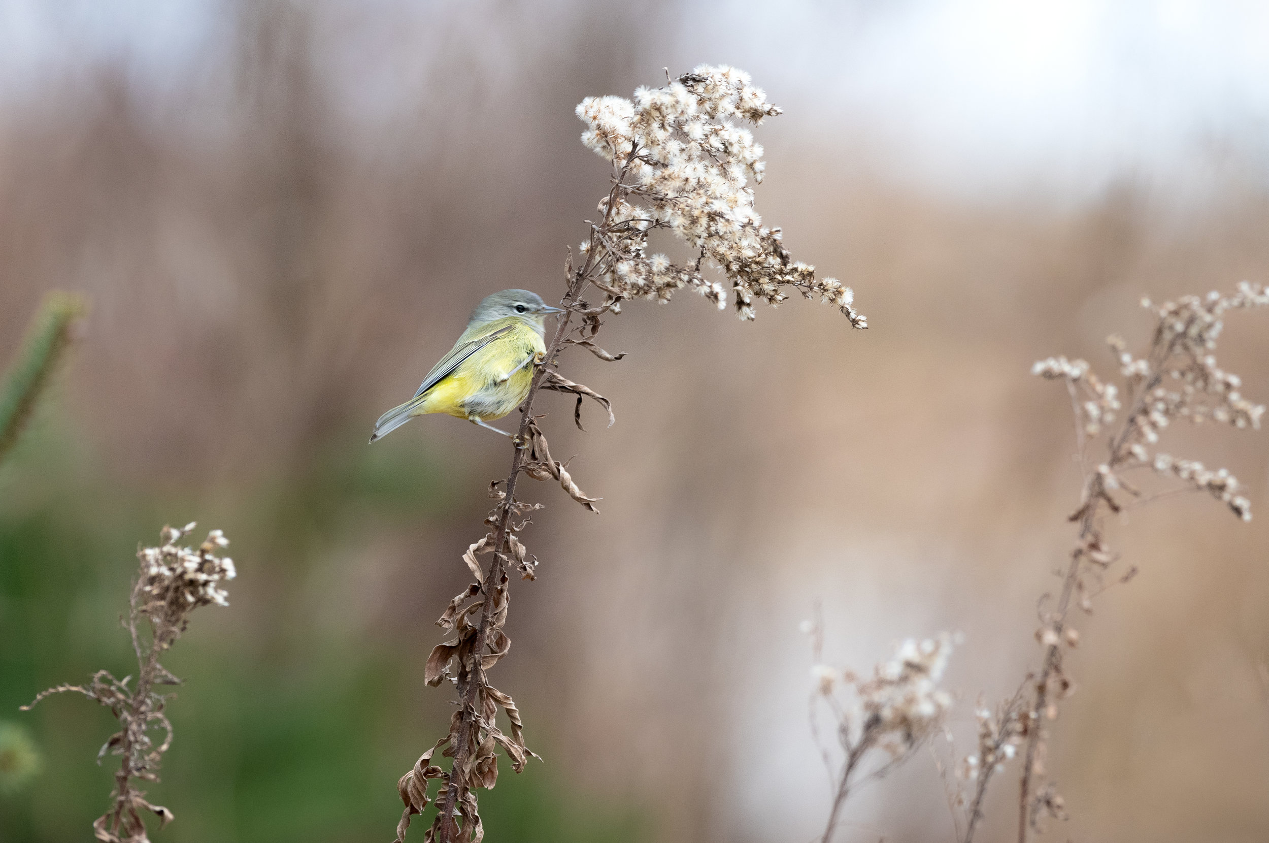 A winter lifer - Orange Crowned Warbler - completely out of place at this time of year…