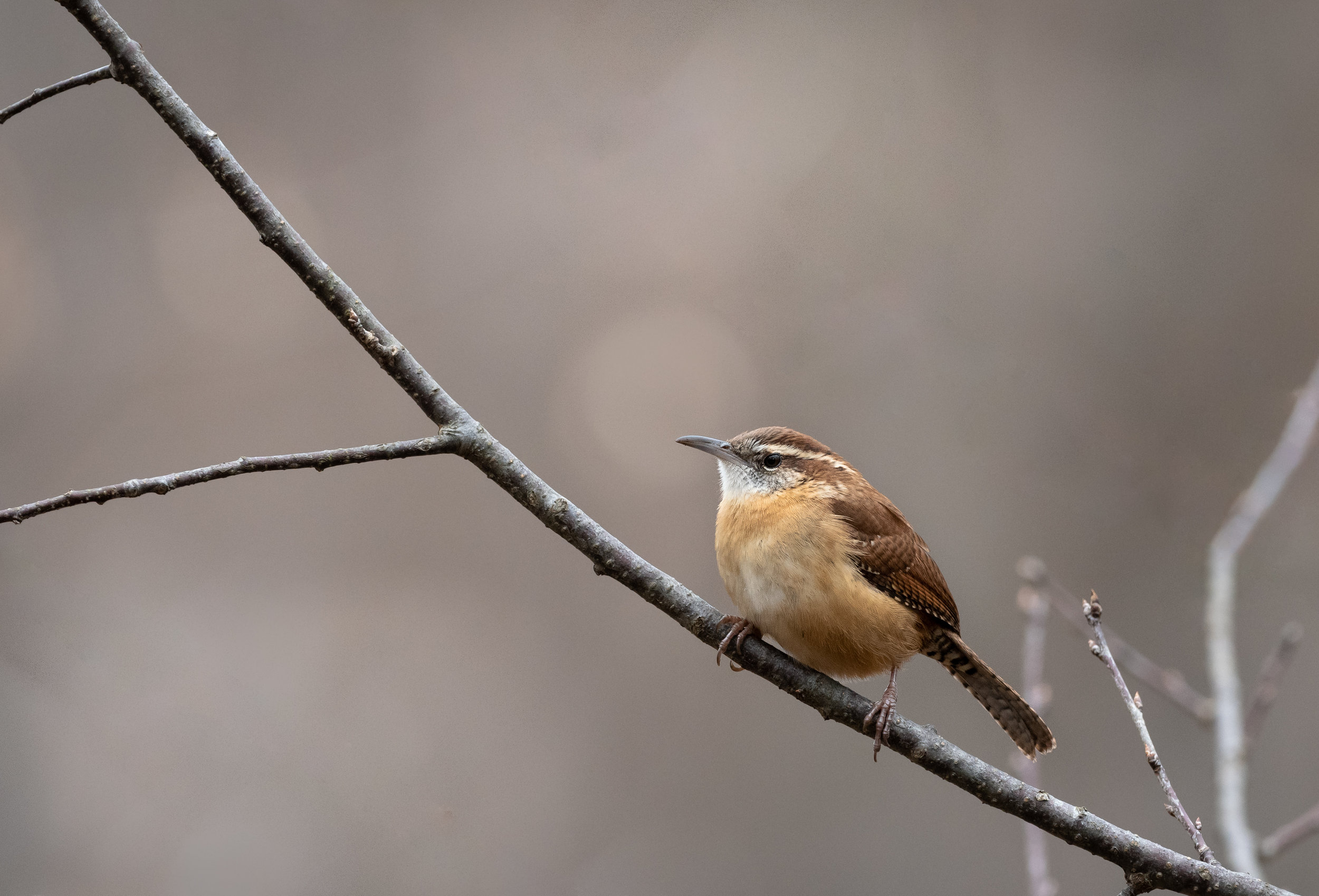 The Vanquished Carolina Wren