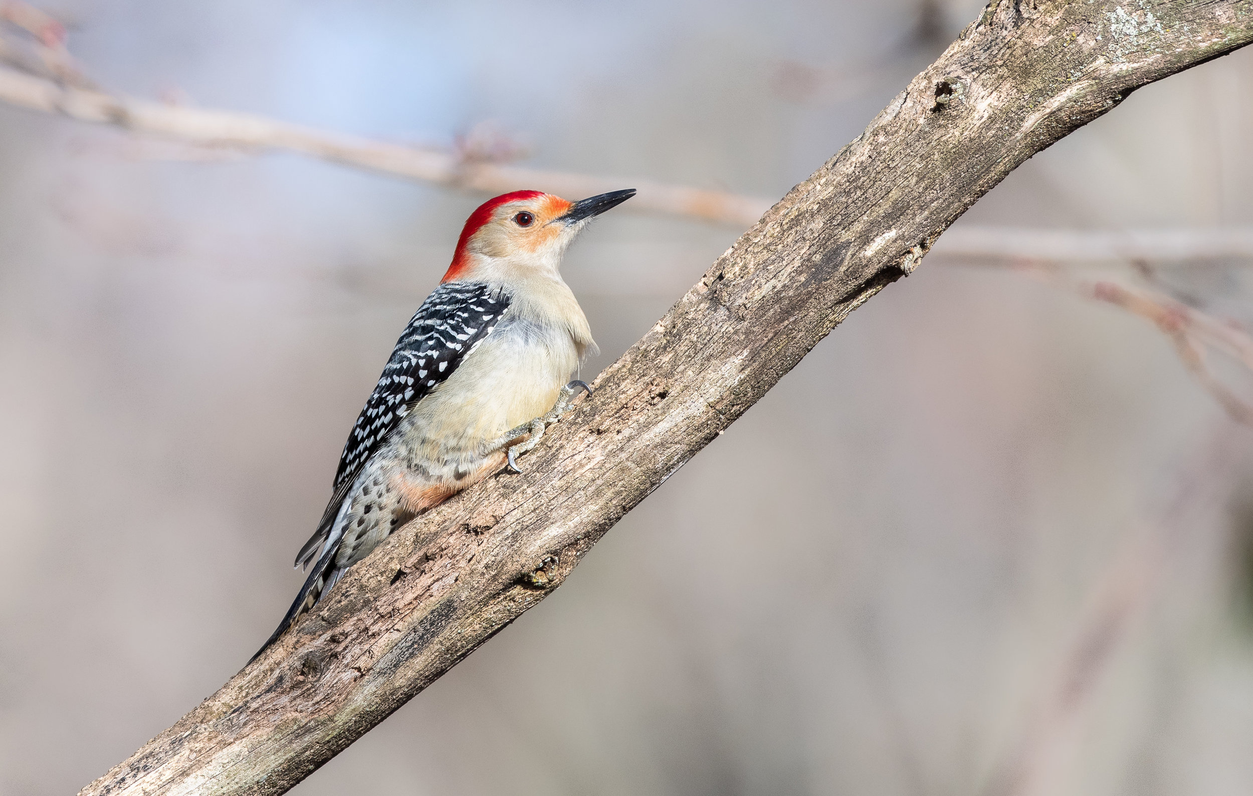 And a little surprise at the end! Red Bellied Woodpecker making an appearance