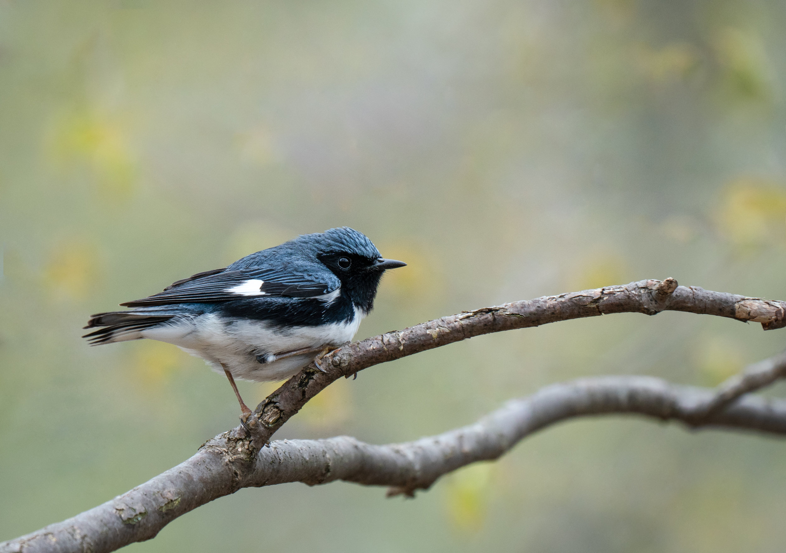 Always a striking bitd - a Black Throated Blue Warbler