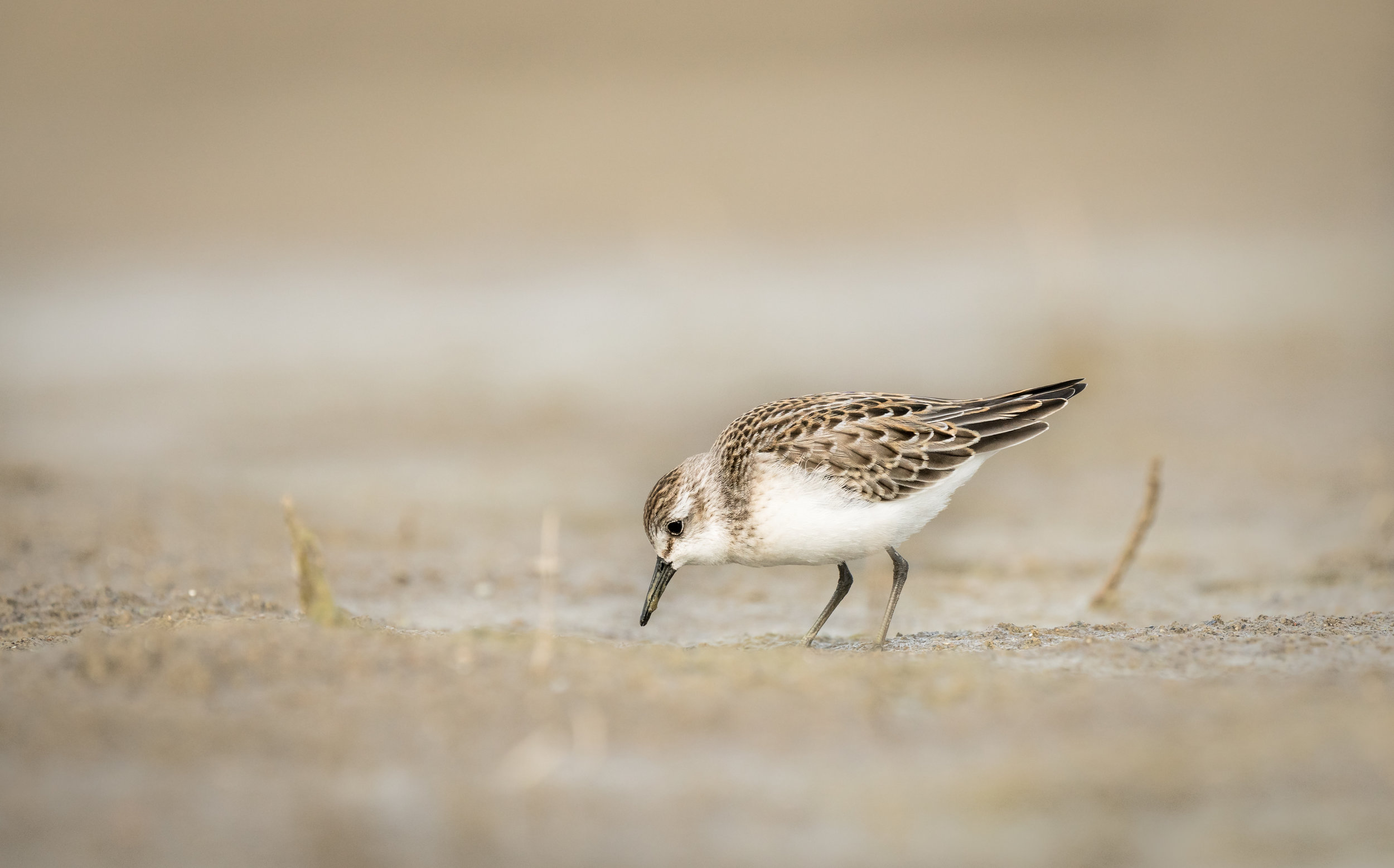 Semipalmated Sandpiper searching the beach for grubs