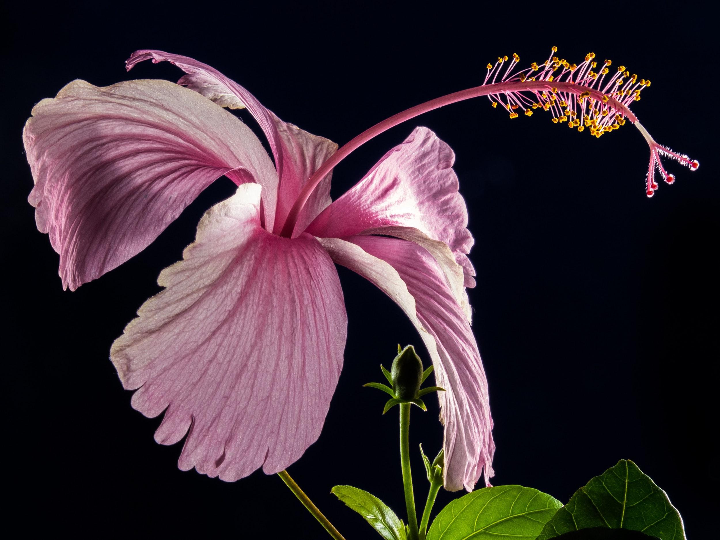 hibiscus-blossom-bloom-flower-2500x1875.jpeg