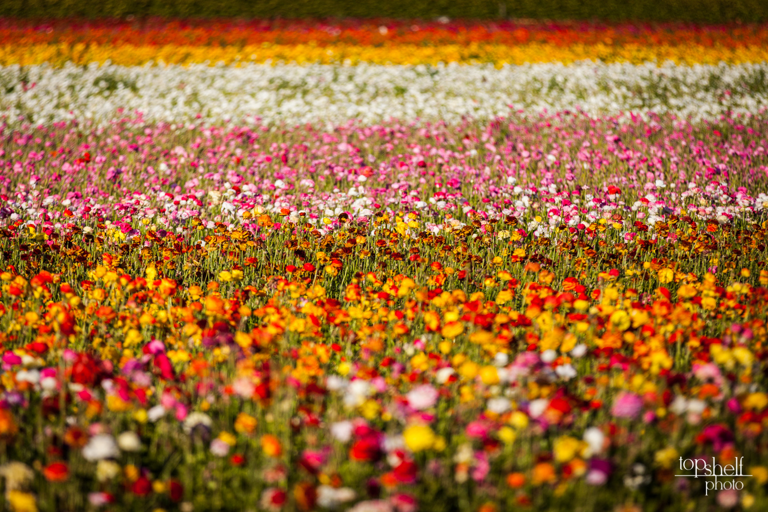 carlsbad-flower-fields-wedding-san-diego-top-shelf-photo-12.jpg