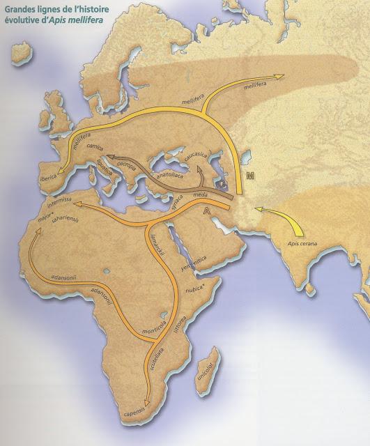 Grandes lignes de l'histoire évolutive d'Apis Mellifera.jpg