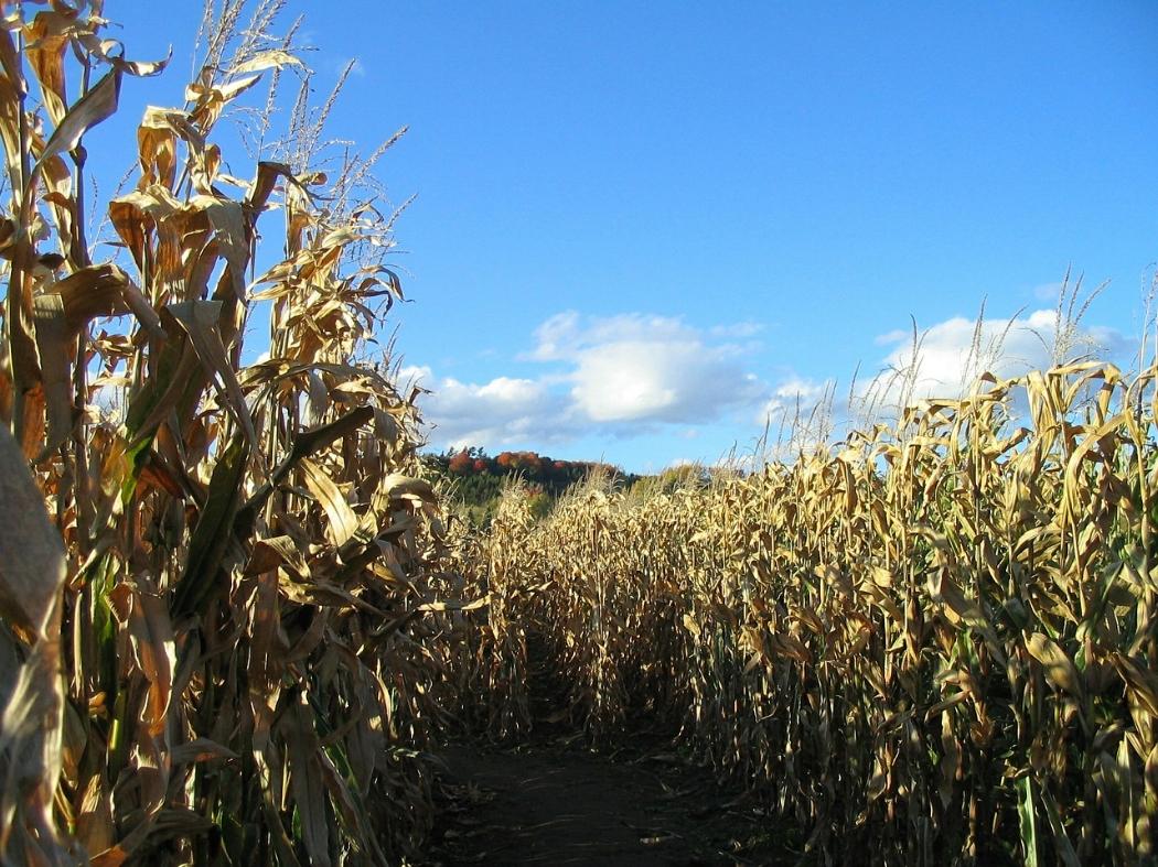 22. Corn Maze -
