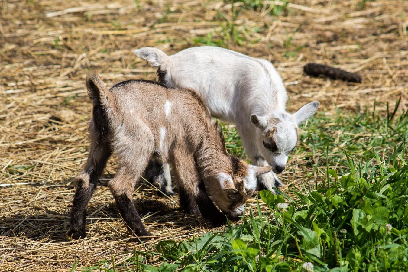 39. Goat Farm -
