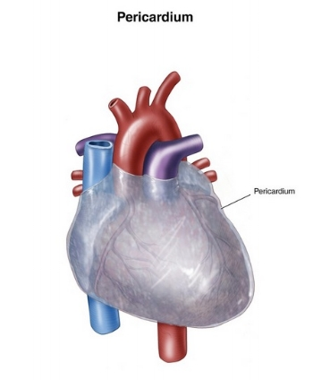The pericardium is also knows as the 'heart protector' which indicates an emotional component. Physically it keeps the heart in place within the chest cavity. It is made of strong connective tissue (fascia) which has a nerve supply so it can be positively impacted in a Craniosacral treatment. Fascia exists throughout the body and like a spiders web or yarn in a sweater it keeps everything in the body in place and has a vital role in good health.