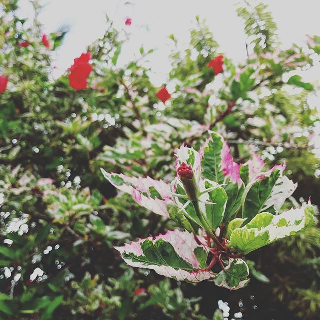 Hibiscus buds rolled up tight and yet soon will unfurl... In this season of solstices and new year planning what would you want to unfurl??? Plan big and plan for Kauai! We would love to see and work with you in 2018. #writingretreats #writers #onwriting #writingprompt #writingprompts #kauaiwriters #kauai #hawaii #tropicaltrips #kauaihawaiiretreats #annrandolph #annrandolphkauairetreats #writeyourlife #planbig #dream #2018 #planforfun #creativity #creativewriting #soulwork #health #writeit #shareyourstory #yourstorymatters #makeithappen #cometokauai