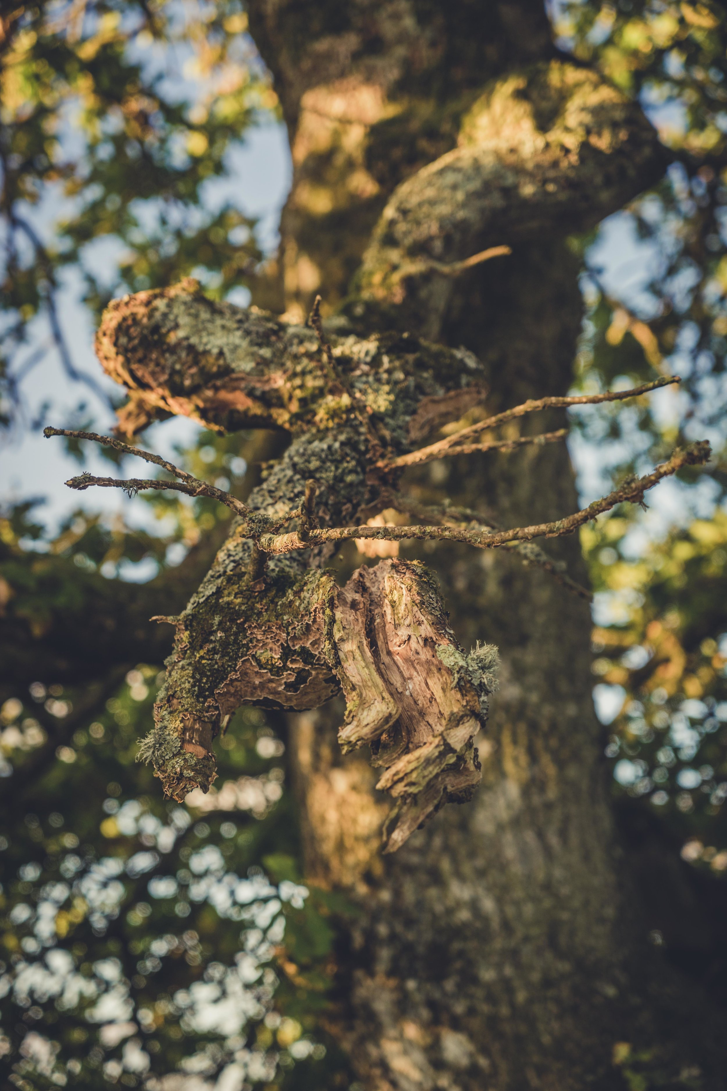Hill of tara. ireland. history. irish. golden light. travel. blog. autumn. colour. celtic. gaelic. old ash tree on tara hill.jpg