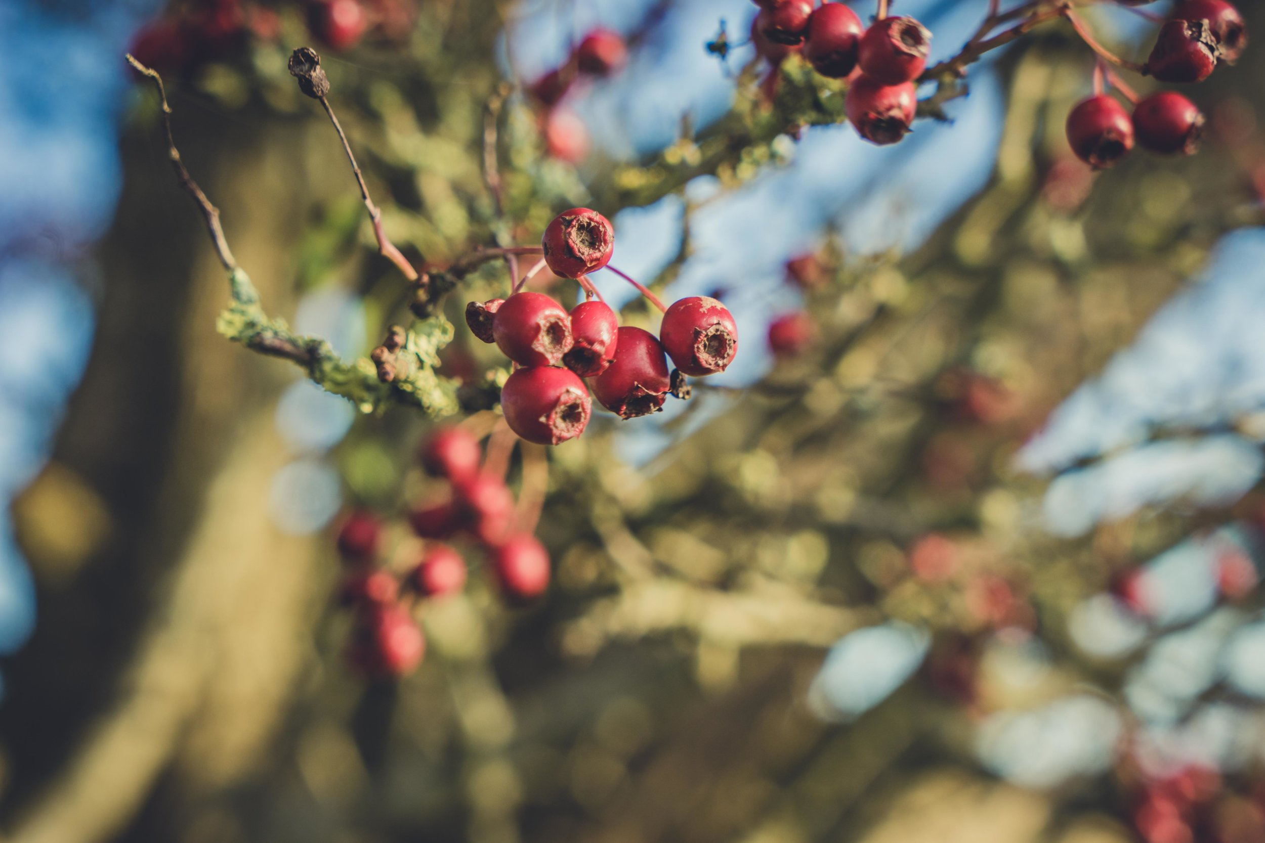 Hill of tara. ireland. history. irish. golden light. travel. blog. autumn. colour. celtic. gaelic. red berries.jpg