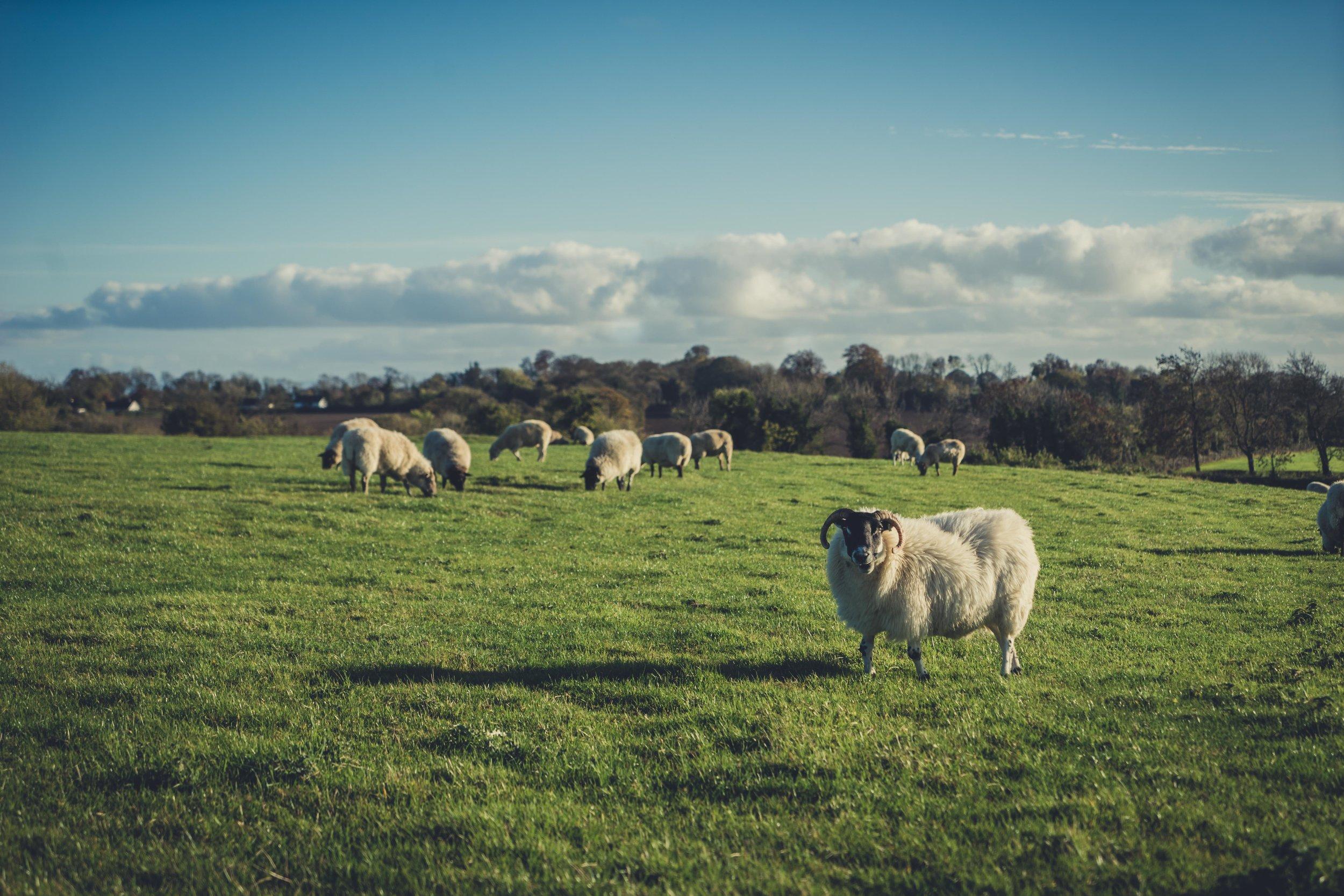 Hill of tara. ireland. history. irish. golden light. travel. blog. autumn. colour. celtic. gaelic. irish sheep. sheep in a field.jpg