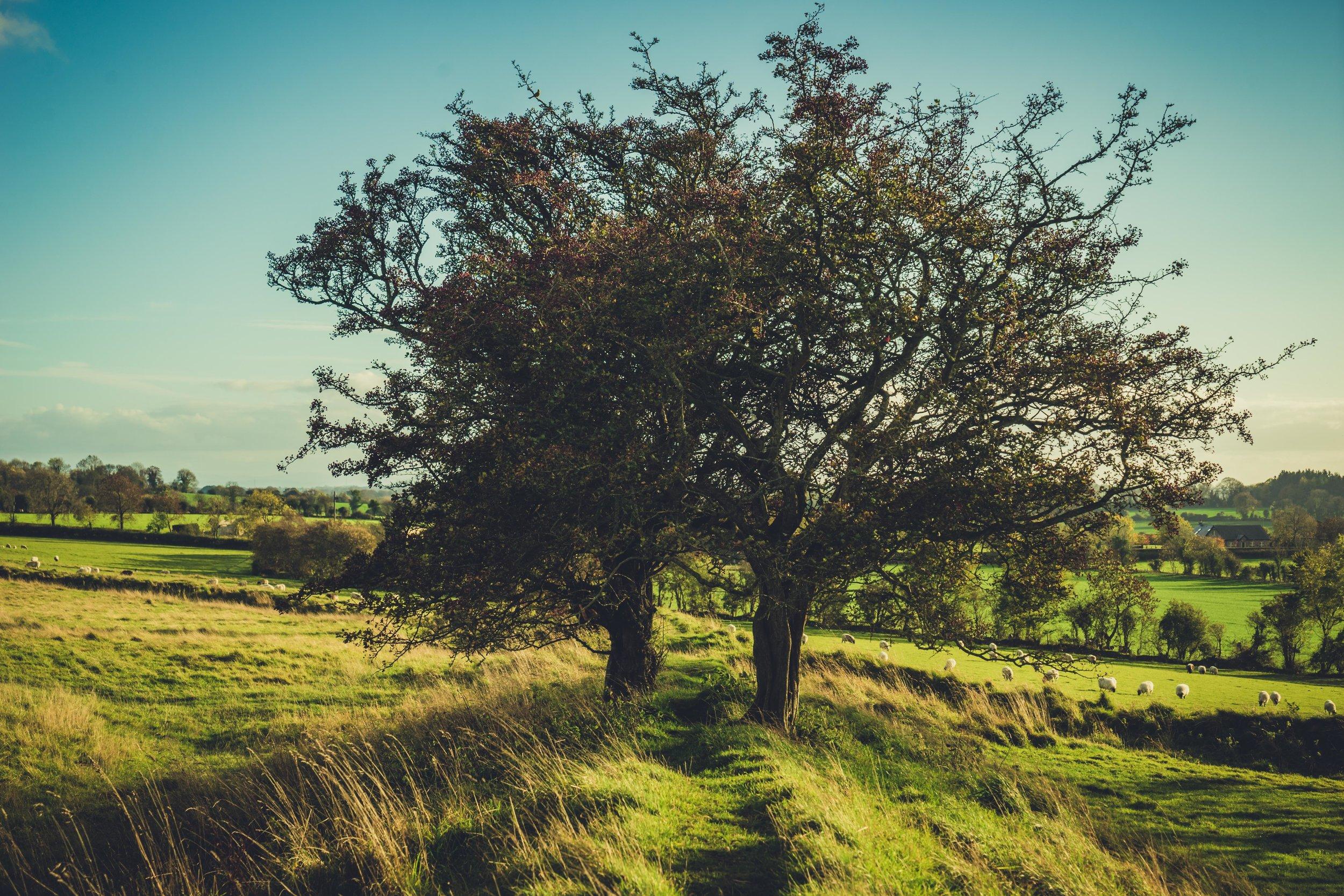 Hill of tara. ireland. history. irish. golden light. travel. blog. autumn. colour. celtic. gaelic. trees on the hill.jpg
